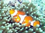 GBR Clownfish